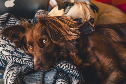 dogs,  laying,  bed,  sleep,  rest,  chill,  red setter,  pug,  animal,  pet,  look,  eyes,  curious