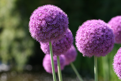 purple,  flowers,  nature,  round,  blossom,  flora,  garden,  field,  allium,  ornamental,  plant,  spring,  flower