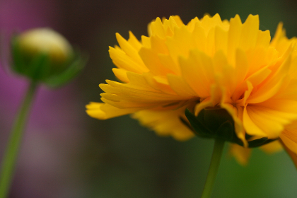 yellow,  flower,  close up,   garden,   fresh,   nature,   outdoors,   colorful,   bright,   organic,   natural,   plants,   bokeh,  blossom,  bloom,  flora, wallpaper