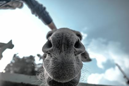 animals, mammals, camel, snout, whiskers, nose, cute, adorable, sky, clouds, worm's eye view, perspective