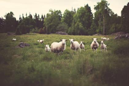farm, animals, sheep, lamb, green, grass, field, trees, country