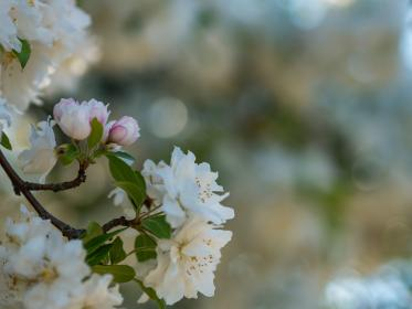 nature, flowers, petals, bloom, white, bokeh, blur