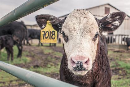 cow, animals, farm, barn, field, fence, numbers