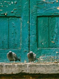 pigeon, dove, bird, animal, outside, wooden, door
