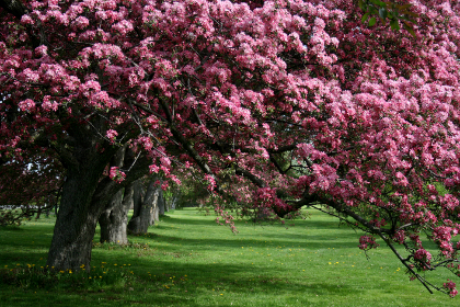 apple,   nature,   flowers,   blooming,   flora,   floral,   fruit,   orchard,   pink,   petal,   plant,   branch,  tree,  blossoms,  outdoors