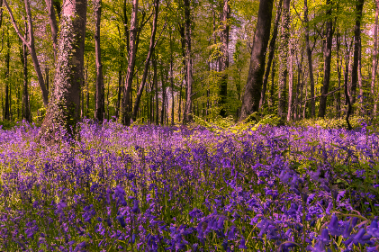spring, bluebells, forest, nature, outdoors, hiking, leaves, foliage, growth, organic, natural, environment, climate