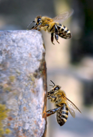 bees, insects, flying, macro, close up, outdoors, nature, honey