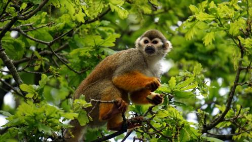 animals, mammals, monkeys, perched, trees, leaves, branches, outdoors, sanctuary