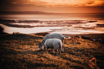sheep,  grazing,  sunset,  field,  farm,  animals,  farmyard,  sea,  landscape,  red sky,  sky