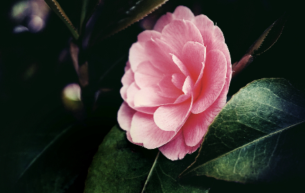 pink, flower, garden, nature, outdoors, bloom, blossom, pretty, spring, summer, leaves