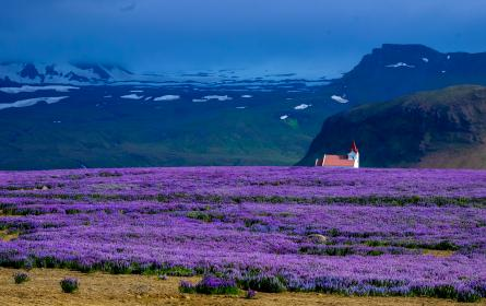 lavender, field, farm, outdoor, nature, garden, landscape, outdoor, view, mountains, snow, winter, church