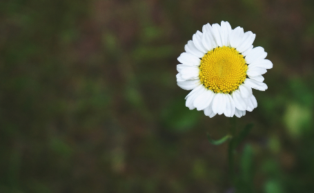 flower, daisy, garden, nature, outdoors, spring, summer, bloom, blossom, botany, plants, wallpaper