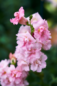 pink,  flowers,  macro,  garden,  soft,  fresh,  bloom,  blossom,  botany,  outdoors,  nature,  organic,  beautiful,  pretty
