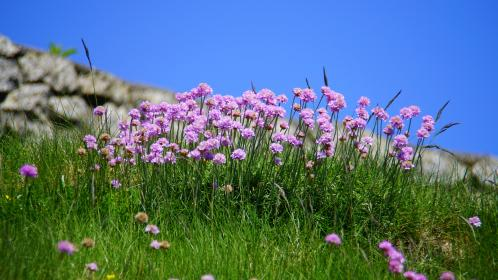 flowers, nature, blossoms, branches, bed, field, stems, stalk, petals, grass, purple, still, bokeh, outdoors, prairie, stone, wall