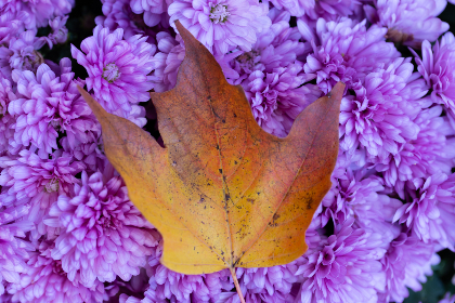 autumn,   foliage,   leaf,   nature,   outdoors,   fall,   season,  flowers,  floral,  single,  minimal,  close up,  top,  view