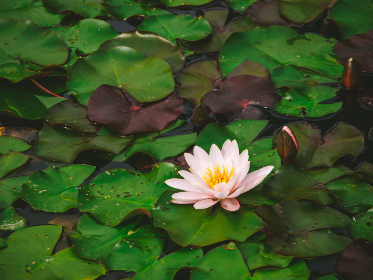 free photo of lily   pad
