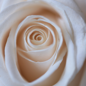 white,   rose,   close up,   flower,   petals,   nature,   natural,   organic,   fresh,   garden,   bloom,   blossom,   botany,   plants,   minimal,   macro