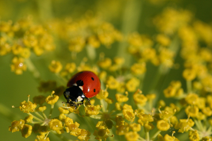 ladybug,   close up,   nature,   bug,   macro,   insect,   wildlife,   beetle,   plant,   small,   red,   environment,   wallpaper,  goldenrod,  yellow,  flowers