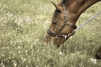 pasture,   grazing,   equine,   field,   equestrian,   ranch,   farm,   nature,   horse,   animal,   eyes,  grass