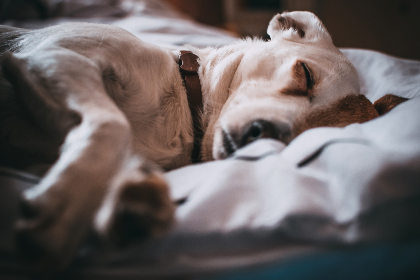 white,  dog,  sleeping,  bed,  pet,  animals,  collar