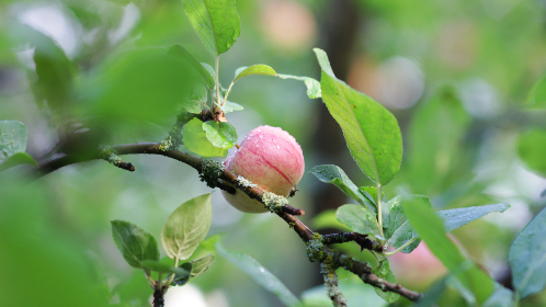 Photo of an apple tree