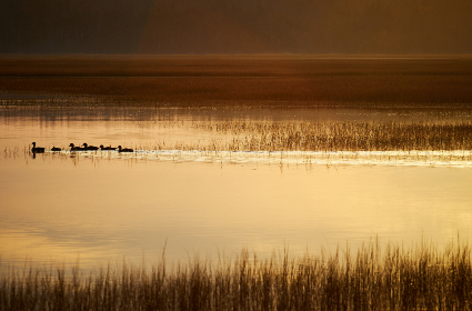 field,   nature,   water,   bird,   animal,   countryside,   lake,   landscape,   grass,   outdoor,  ducks,  wildlife,  golden,  dusk