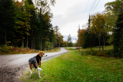 dog,  pet,  outdoors,  animal,  walking,  path,  canine,  trees,  nature,  road,  beagle,  play,  backyard,  domestic