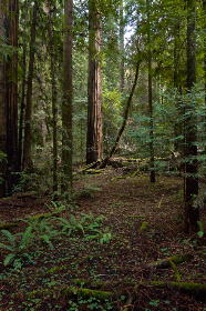 trees,   forest,   woods,   nature,   path,   trail,   branches,   leaves,  redwood,  mossy,  outdoors,  adventure,  trek,  hike,  fallen