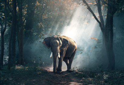 elephant,   asian,   trees,   sun,   ray,   jungle,   forest,   leaves,   tusks,   large,   animals,   ears