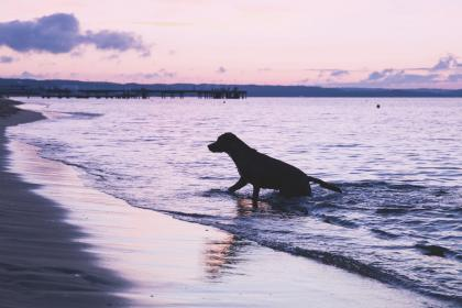 animals, dogs, domesticated, pets, adorable, cute, swim, play, nature, beach, shore, sand, water, ocean, sea, waves, splash, sky, clouds, silhouette