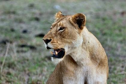 animals, feline, lion, lioness, wildlife, teeth, whiskers, nature, grass, bokeh