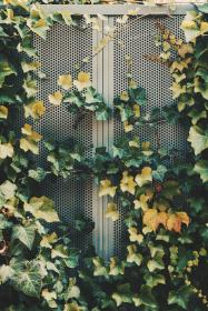 green, leaf, plant, nature, outdoor, vines, wall