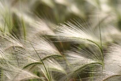 tall,  grass,  background,  field,  seed,  growth,  close up,  natural,  pattern,  nature,  plant,  wild,  country,  farm