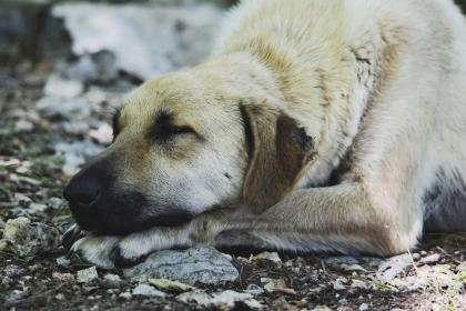 animals, dogs, domesticated, pets, adorable, cute, muzzle, sleep, soil, stones, outdoors