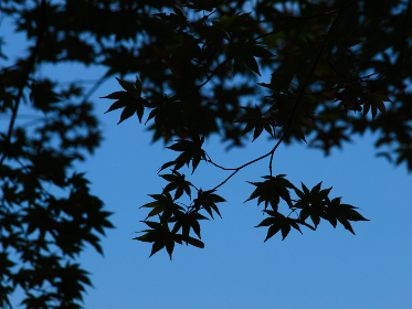 leaves,  tree,  branches,  silhouette,  sky,  dusk,  night,  leaf,  maple,  nature,  natural,  pattern,  outdoor,  isolated