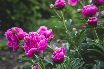 pink,   blossoms,   garden,   flower,   bloom,   fresh,   plants,   outdoors,   nature,   spring,   petals,   beautiful,   summer,   flowers