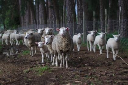 sheep, lamb, animal, herd, wildlife, soil, outdoor, wire, fence