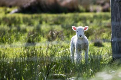animal, ram, lamb, fence, steel, wooden, grass, land, field, farm, herbivore, green, white, bokeh, blur