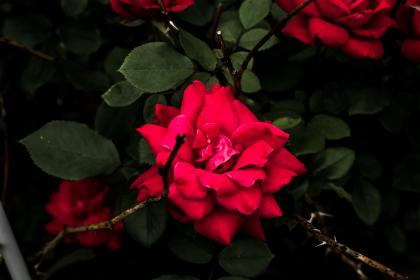 flowers, nature, blossoms, branches, stems, stalk, leaves, thorns, red, petals, bokeh, outdoors, garden, rose