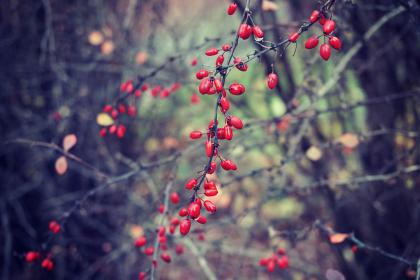 berries, plants, bushes, forest, woods, nature