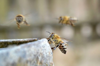 bees, flying, honey, drinking, outdoors, nature, hive, nectar, close up, wings, macro, insect