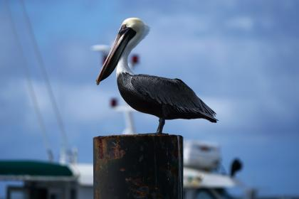 animals, birds, pelican, perched, wood, stump, yacht, dock, pier, bokeh