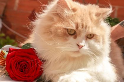animals, cats, pets, domesticated, eyes, adorable, fluffy, cute, whiskers, rose, bokeh