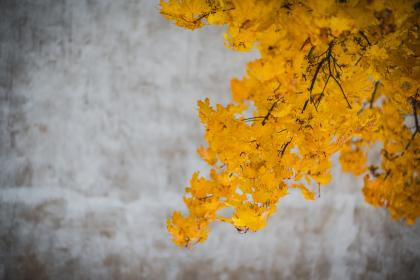 yellow, leaves, trees, branches, autumn, fall, nature