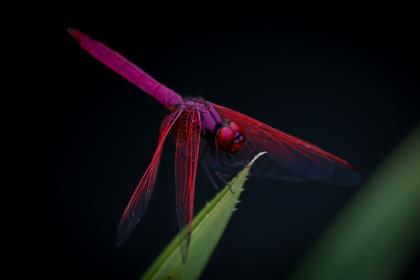 green, leaf, plant, dragonfly, insect, animal, outdoor, garden