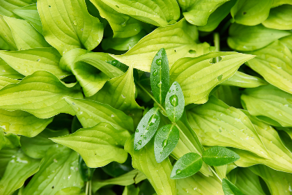 wet,  leaves,  plant,  background,  green,  organic,  nature,  water,  drops,  close up,  leaf,  garden,  forest,  above,  outdoors,  greenery
