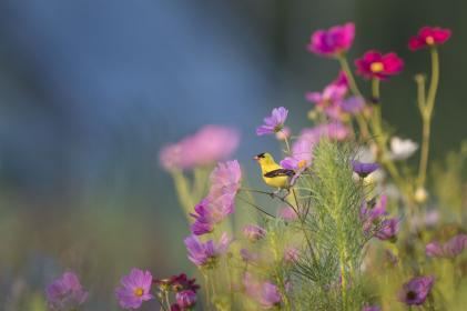 animals, birds, beautiful, gorgeous, perched, plants, flowers, branches, stems, stalks, outdoors, still, bokeh, yellow, purple