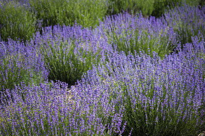 flower,  field,  lavender,  nature,   outdoors,   herbal,   purple,   plant,   grass,   blooming,  summer,  flowers