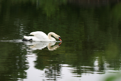 swan,  bird,  lake,  wildlife,  water,  animal,  beak,  eye,  feather,  neck,  nature,  white,  pond,  reflection