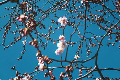 flowers, nature, blossoms, branches, stems, stalk, white, pink, petals, trees, bokeh, outdoors, garden